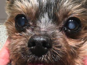 catraracte-chien-veterinaire-boulogne